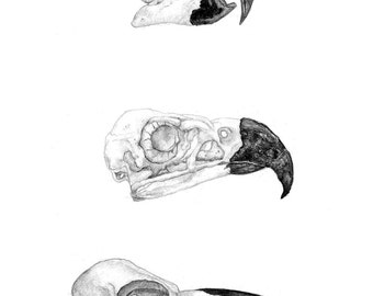 Bird Skulls Illustration