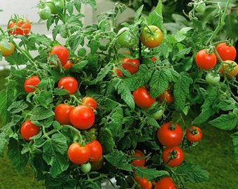 3 Plants - Better Bush Organic Tomato