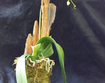 Mounted Live Phalenopsis Orchid on Cedar