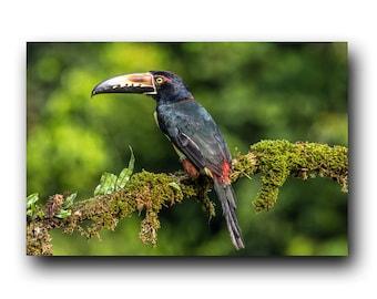 Collared Aracari, Toucan Print, Toucan Photo, Toucan Image, Tropical Bird, Bird Portrait, Bird Picture, Bird Photography, Tukan, Bird Print