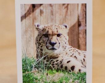 Greeting Card Set of 5 - Cheetah - Fine Art Photo - (blank inside)