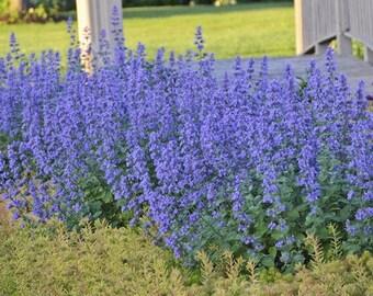 Nepeta faasseniii, 1 Gallon,  Six hills Giant, catmint, deer resistant, cutting, bees, butterflies, hummingbird, butterfly, perennial, plant