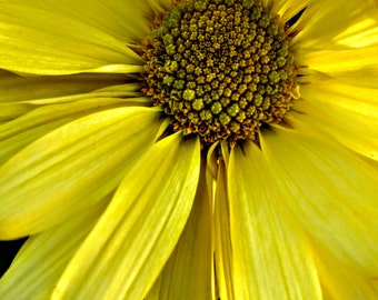 "Yellow Daisy Photo, Yellow Flower, Flower Photo, Daisy Petals, Floral Photo, Daisies, Floral Decor, Radiance, Floral Art ""Yellow Daisy"""