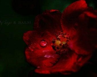 Dark floral red rose macro photography, rain drops, romantic, haunting, red, rose print, flower print, floral photography, goth art print