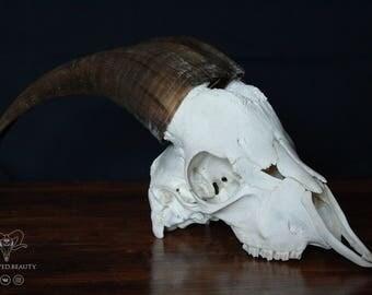 BROWNHORNED GOAT SKULL Real animal skull Real goat skull Ram skull Taxidermy mount Sheep skull moose skull symbol Witchcraft supply