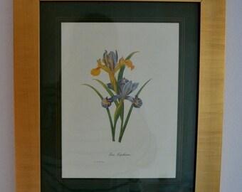 Vintage Pierre-Joseph Redouté Botanical print Iris xiphium framed Gold Netherlands Holland Botany Decor Ref: VLS002