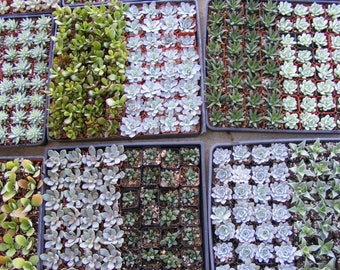 140 Assorted Succulent Plants 2 inch pot !! Great for wedding party favor