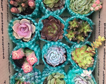 """12 pack of 2"""" succulents"""