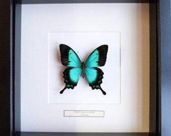 Beautiful butterfly in frame-lorquianus--Butterfly-Papilio in list