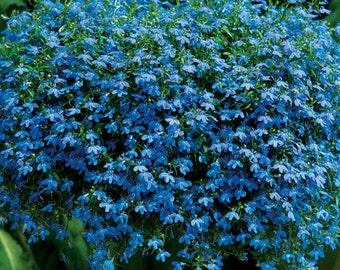 Lobelia Pendula Blue (3000 SEEDS)