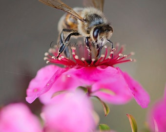 Cherry Blossom Bee Fine Art Photographic Print