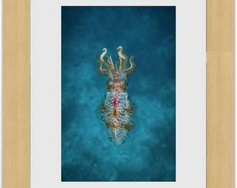 Reef Squid : Framed Photograph