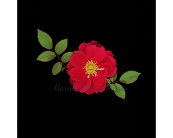 Red rose photo, flower photo, nature print, wall art, home decor, red, flower photography, floral art photo, gift for her, romantic gift