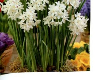 Paperwhite Narcissus Bulbs, 10
