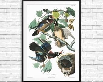 Wood duck, Summer duck, wood ducks, wood duck art, wood duck posters, wood duck print, wood duck wall art, gifts for birdwatchers, bird gift
