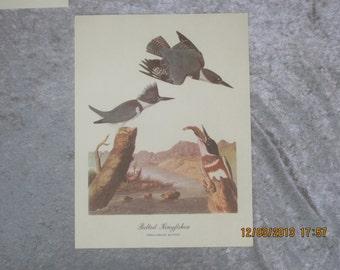 Belted Kingfisher Bird Audabon Print Megaceryle alcyon