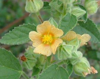 2000 Seeds Sida cordifolia Seeds ,bala Seeds , country mallow, flannel weed Seeds