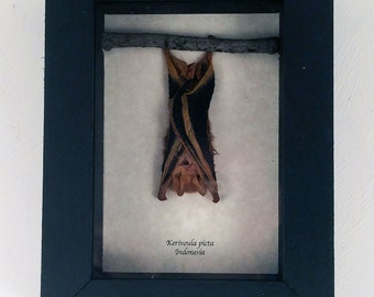 Real bat framed - Kerivoula picta