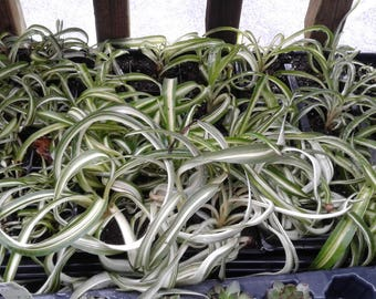 Curly Spider plant rooted plugs