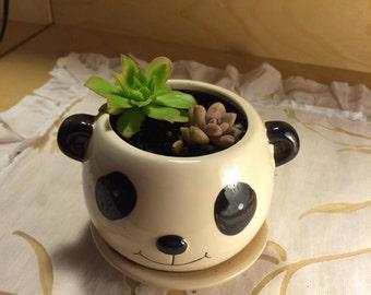 panda succulent