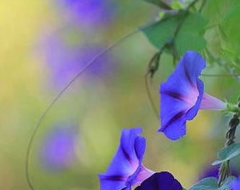 25+ MORNING GLORY- Star of Yelta / BUTTERFLY Magnet / 6-10 Vine / Flower Seeds