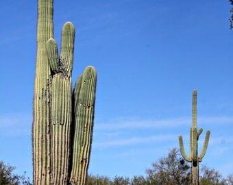 Saguaro cacti Arizona