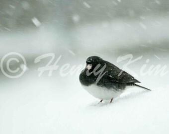 Dark-eyed Junco, Junco, Bird, Snow, Winter, Fine Art Print, Wall Decor, Photo, Photography, Nature, Wildlife, Education