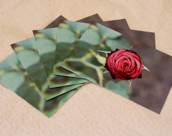 Pack of five (5) A6 English pink rose postcards (matte)