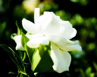 White rose, laandscape photography, flower print, wall art photography