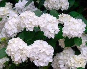 One Hydrangea Madame Emile Mouillere Garden Live Plant Shrub for Cottage Gardens