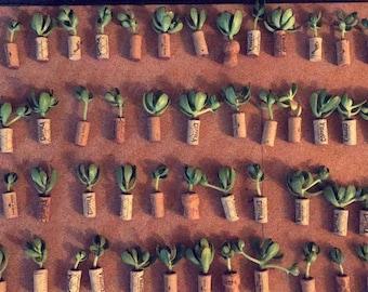 Succulent Cork Magnets/ Wine Cork Magnet/ Air Plant Magnet/ Thank you gift/ Party Favor/ Succulent gifts bulk/ Air plant cork magnet/ Plants