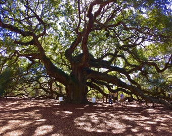 Angel oak tree Cgarleston