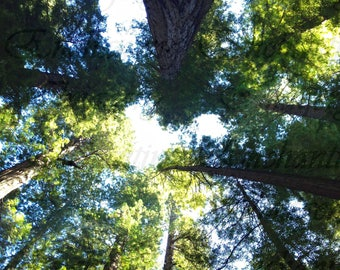 Magnificent Redwood Trees