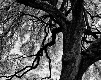 Branches of a Mighty Oak Tree, black and white photograph, landscape photo, picture of a big tree