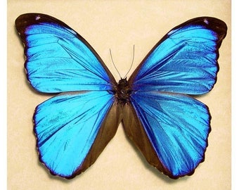 Real Framed Metallic Blue Morpho Butterfly 290