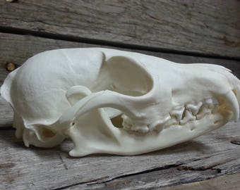 Arctic Fox Skull -Collector Quallity- Vulpes lagopus- Lot No. 170317-A