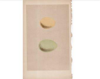 c. 1875 ANTIQUE EGG LITHOGRAPH - original antique hand colored print of bird eggs - egg print