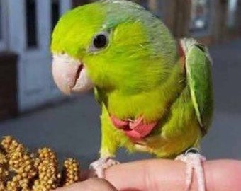 Parrotlet Leather Bird Harness, Leash, and Case