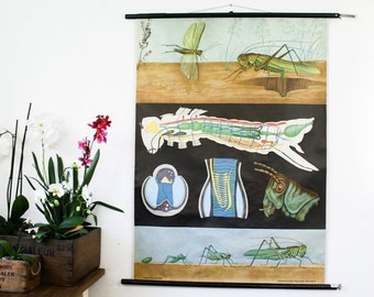 Vintage Pull Down Chart, Grasshopper, Jung Koch Quentell
