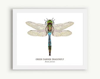 Green Darner Dragonfly Print - Unmatted