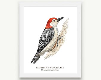 Red-Bellied Woodpecker Print - Unmatted