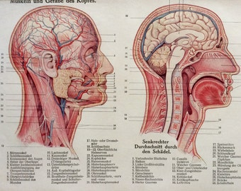 Vintage 1920s German Anatomy FACE BRAIN HEAD Dissection Medical Diagram Bookplate