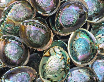 Large color Abalone shell