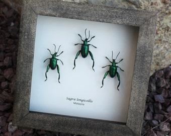 Real Sagra longicollis -metalic green frog leg beetle set!
