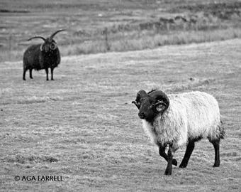 Sheep Photography, Black and White Print, Sepia Print, Sheep Art, Scottish Ram, Large Wall Art, Animal Print - Hebridean