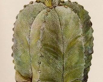 Antique Cactus Print Vintage Botanical Yellow Flower Gallery Wall Art Cottage and Desert Decor Bishops Cap Cactus  2829