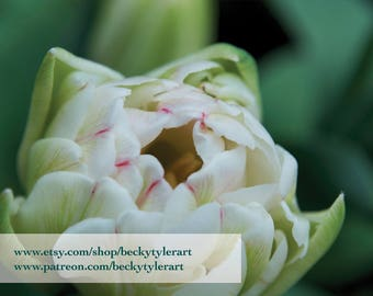 Tulip Fine Art Photo Print