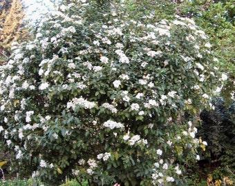 Laurustinus Viburnum Seeds, Viburnum tinus - 25 Seeds