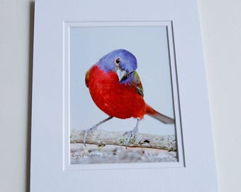Photograph - 5 x 7 - Male Painted Bunting
