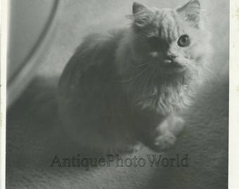 Cute fluffy white cat vintage photo